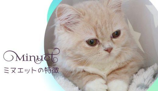ミヌエット(ナポレオン)猫とは?大きさ・寿命・性格などの特徴や飼い方を徹底解説!