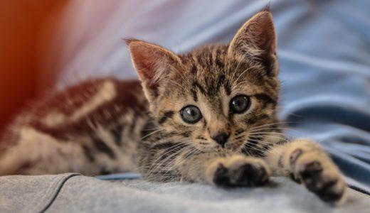 生後3ヶ月の子猫の育て方|適切な餌の量や体重は?餌をふやかすのはいつまで?