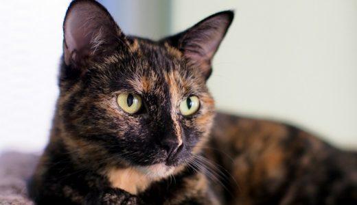幸運を呼ぶサビ猫の魅力的な性格とは?賢い理由とオスが珍しいのはなぜ?