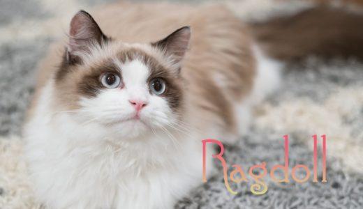ラグドールの性格5選!毛色の特徴と個性の違いをオス・メス・子猫別に解説!