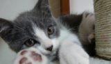 ハチワレ猫,グレー