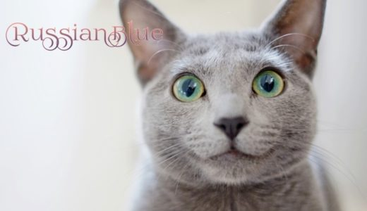 ロシアンブルーの性格は嫉妬深い?目の色・体重・寿命の特徴を徹底解説!