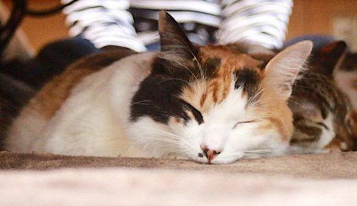 浅草の猫カフェおすすめ3選!安い&子供OKや抱っこできるお店も紹介